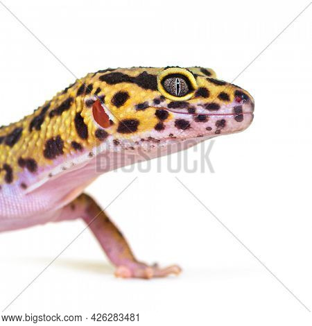 Side view Head shot of a Leopard gecko, isolated on white