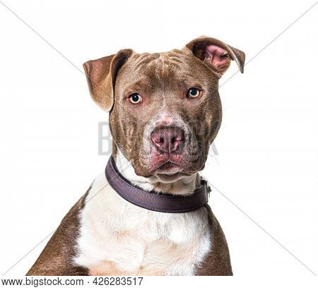 Head shot of a American Staffordshire terrier looking at camera and wearing a collar, isolated on white