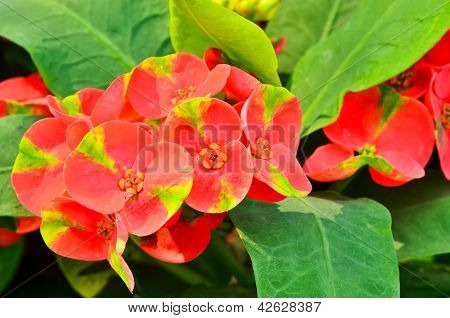 Red Poi Sian Flowers