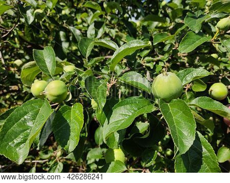 Young Green Ripening Apple Fruits On A Branch After Flowering In The Garden. . A Young Rudiment Of A