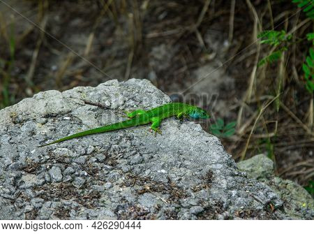 Bright Green Lizard With Long Tail Sitting On The Stone In A Forest. Reptile Crawling On The Cliff.