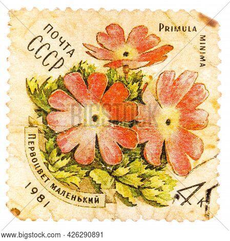 Ussr - Circa 1981: A Stamp Printed In Ussr Shows A Primula Minima, Series, Circa 1981