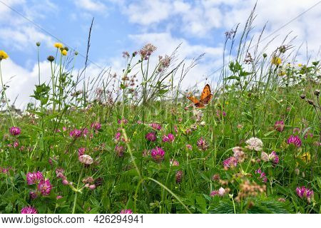 Flowers Of Clover And Wildflowers On Meadow In Summer. Orange Butterfly With Black Dots Scarce Coppe