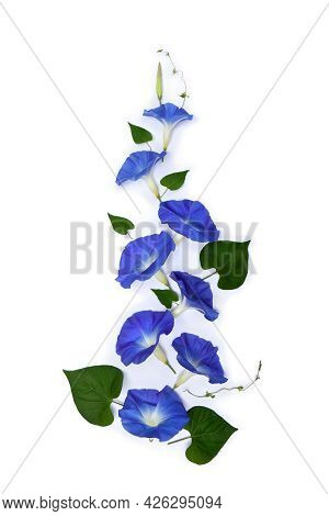Blue Flowers Ipomoea ( Bindweed, Moonflower, Morning Glories ) On A White Background With Space For