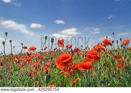 Flowers Red Poppies ( Papaver Rhoeas, Corn Poppy, Corn Rose, Field Poppy, Red Weed, Coquelicot ) On