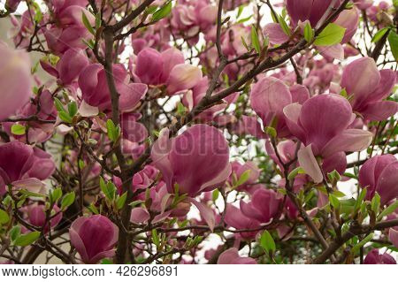 Many Flowers Of A Large Pink Magnolia, On A Blurred Background. Flowers, Magnolias, Pink, Beauty, Co