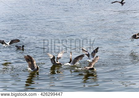 Seagulls, Seagull Birds In Water, Close Up View Of White Birds, Natural Blue Water Background.