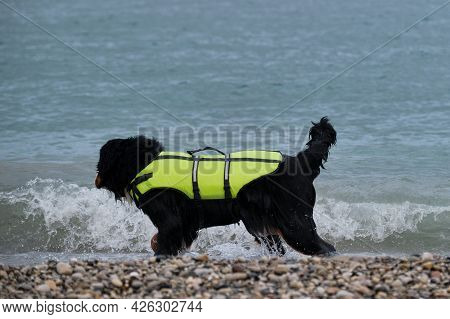Bernese Mountain Dog In Bright Green Life Jacket At Sea. Rescue Dog Walks Along The Beach And Carefu
