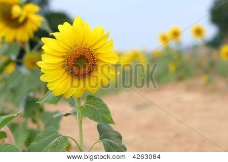 The Blossom Sunflower