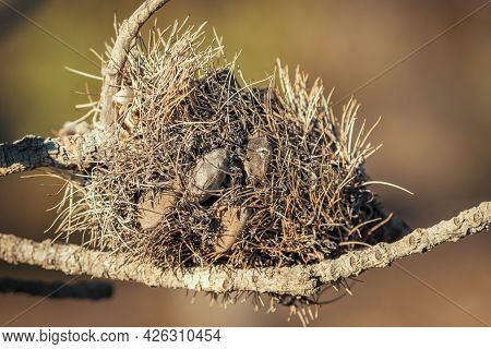 Photograph Of A Dead Banksia Flower And Plant Due To Bushfires In Regional Australia