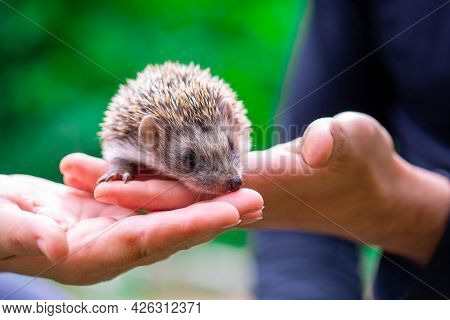 A Prickly Hedgehog Sits On The Palms Of A Child