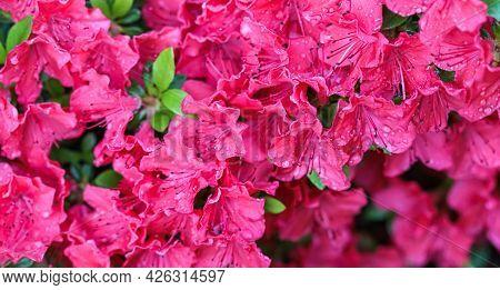 Blooming Red Azalea Flowers With Dew Drops In Spring Garden