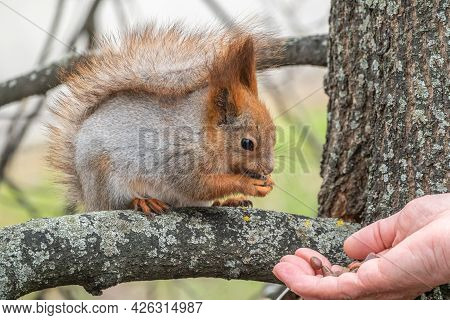 A Squirrel In The Spring Or Autumn Eats Nuts From A Human Hand. Eurasian Red Squirrel, Sciurus Vulga