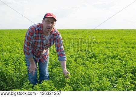 Middle Age Caucasian Farmer At Work - Inspecting Medicago Field Summer Time