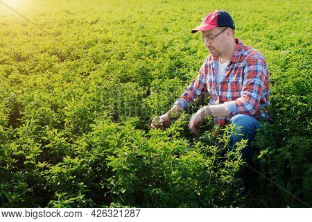 Middle Age Caucasian Farmer Inspecting Medicago Field Summer Time