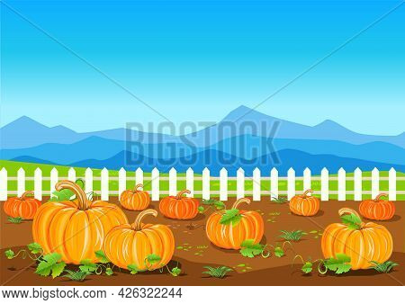 A Field With Ripe Pumpkins On The Background Of A Fence And A Blue Sky. Pumpkin Harvest. Harvest Cel