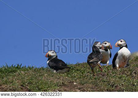 Atlantic Puffin (fratercula Arctica) Socialising On Skomer Island Off The Coast Of Pembrokeshire In