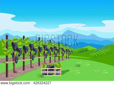 Vineyard With Ripe Grapes In The Background Of The Valley, Mountains And Blue Sky. Grape Harvest And