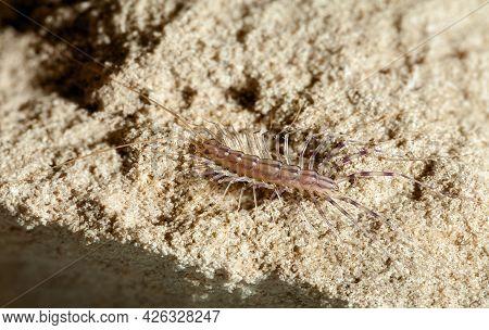 Macro Top View Of Myriapod Insectivore Scutigera Coleoptrata Or House Centipede Crawl On Sand.