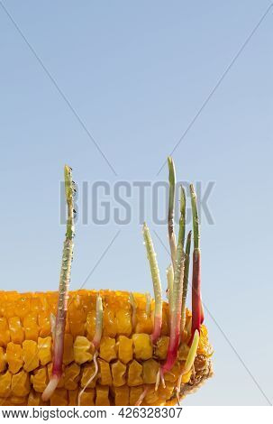 New Corn Sprouts Growing From Old Corncob On Farm Field, Renascence Concept