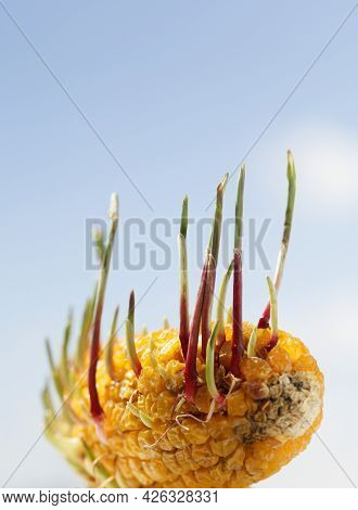 Green Sprouts Of Maize Growing Out Of Old Corncob Over Blue Sky Background In Spring. Beginnings And