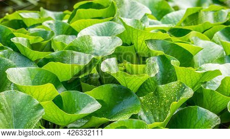 Raindrops On Lotus Leaves In Summer. Nymphaea Alba. European White Water Lily. White Water Rose. Whi