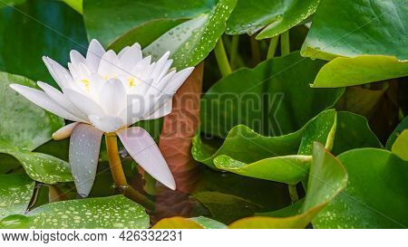 One White Lotus Flower And Raindrops On Leaves In Summer. Nymphaea Alba. European White Water Lily.
