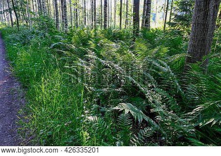 Narrow Trail Through Green Forest In Dawn
