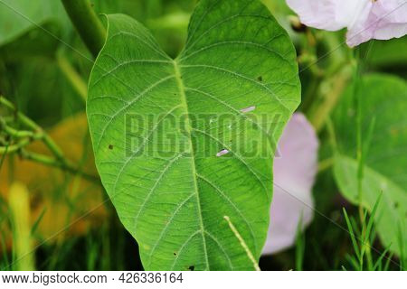 Close-up View Of The Ipomoea Carnea Leaf. The Bush Morning Glory Leaf.