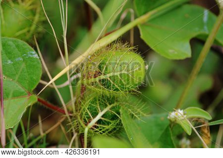 Close-up View Of The Pitcher Plant. Insectivorous Plant.