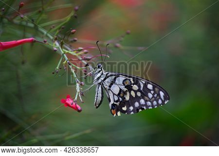 Lime Butterfly, Lime Swallowtail, Macro, Chequered Swallowtail,spring, Springtime,  Animal, Animal B