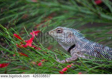 The Oriental Garden Lizard, Eastern Garden Lizard, Indian Garden Lizard, Common Garden Lizard, Blood