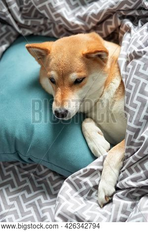 Fluffy Young Red Dog Shiba Inu Is Lying In The Owners Bed On A Turquoise Pillow, Covered With A Blan