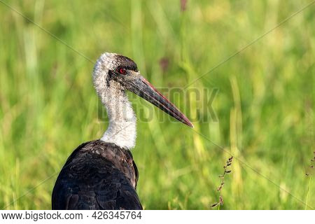 Closeup of a woolly-necked stork, ciconia episcopus, a large wetland bird with a blood-red eye, against a green foliage background with space for text. Masai Mara, Kenya.