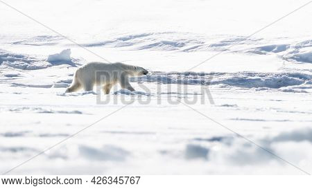 Adult female polar bear walking across the snow and ice of Svalbard, a Norwegian archipelago between mainland Norway and the North Pole.