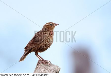 Female Of White-browed Meadowlark (sturnella Superciliaris) Perched On A Fence Post.