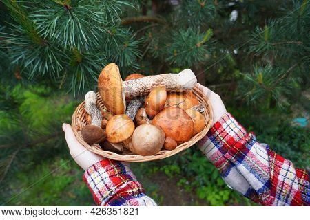 Wild Edible Mushrooms Just Picked From The Forest. A Real Delicacy. Aromatic And Tasty Mushrooms For