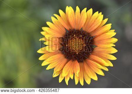 Yellow Gaillardia Flower On A Green Background