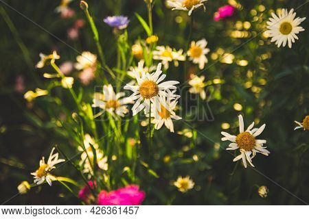 There Are Many Daisies In The Flowerbed.