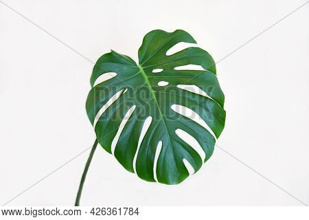 Monstera Leaf (latin: Monstéra) Is A Bright Green Color, Large Isolated On A White Background With B
