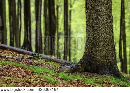 Spruce Trunk In The Spring Beech Forest