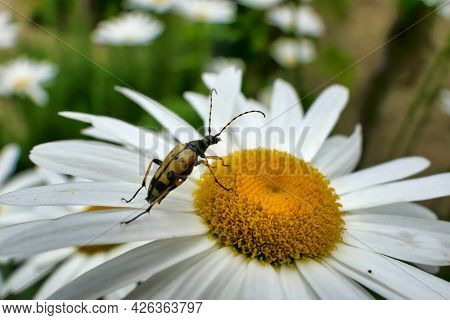 Black And Yellow Longhorn Beetle (rutpela Maculata) Feeding On The Pollen Of A Leucanthemum