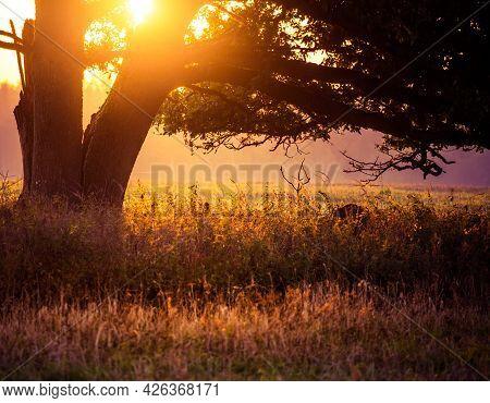A Summer Sun Rising Behind A Huge Oak Tree In The Field. Tree Silhouette Against Morning Skies. Summ