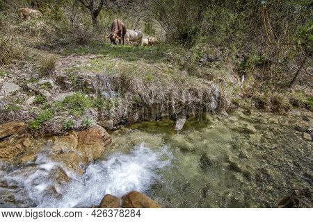 Herd Of Cows Grazing In A Meadow Near A Crystal Clear River, In Borau, Aragonese Pyrenees, Huesca, S