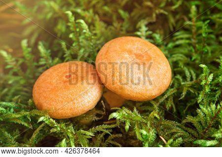 Two Saffron Milk Mushrooms In Moss. Lactarius Deliciosus Mushroom Closeup. Forest Mushroom. Selectiv