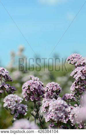 Australian Garden With Pink Flowers Of An Australian Chamelaucium Waxflower And Verticordia Feather