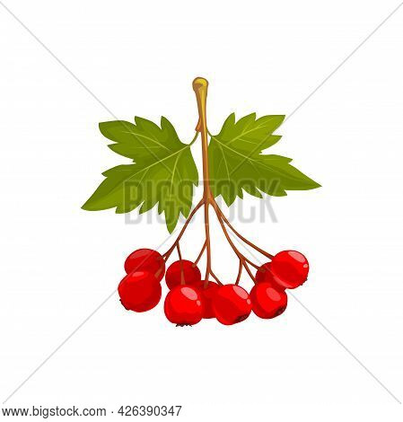 Hawthorn Berries And Leaves, Autumn Fruits Harvest, Fall And Thanksgiving Season, Vector Isolated Ic