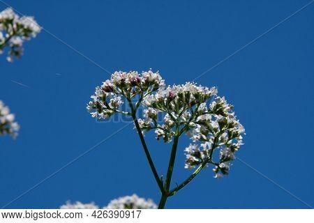 Wild Flower In The Bue Sky Of July In Quebec, Cahada