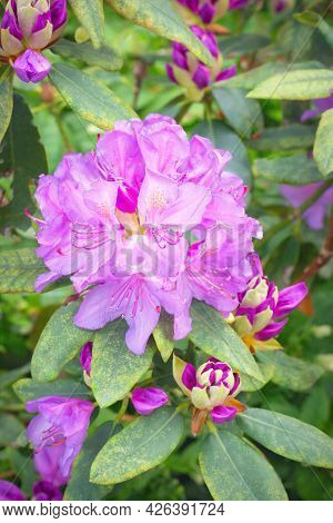Inflorescence Of Lilac Azalea On A Blurred Background, Vertical Format