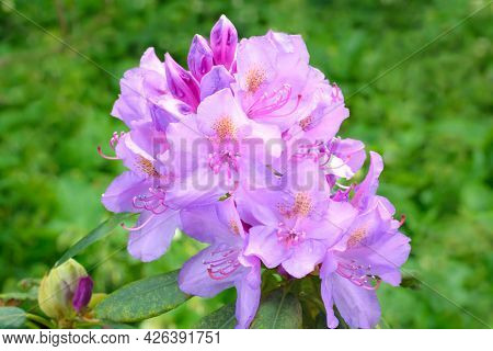 Inflorescence Of Lilac Azalea On A Green Background, Horizontal Format
